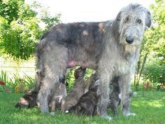 One busy Irish Wolfhound mom.