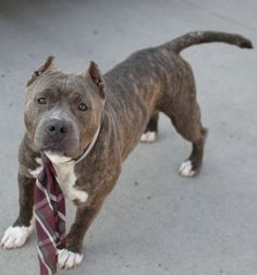 Brooklyn Center ZEUS – A1043413 MALE, BR BRINDLE / WHITE, STAFFORDSHIRE MIX, 3 yrs OWNER SUR – EVALUATE, NO HOLD Reason MOVE2PRIVA Intake condition EXAM REQ Intake Date 07/09/2015 http://nycdogs.urgentpodr.org/zeus-a1043413/
