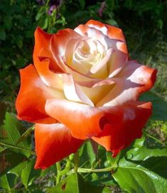 Imperatrice Farah Rose. Delbard 1986. Hybrid Tea. White rose with carmine edges. Very mild tea fragrance.