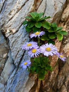 Image may contain: plant, outdoor and nature Rock Flowers, Flowers Nature, Small Flowers, Wild Flowers, Amazing Flowers, Purple Flowers, Beautiful Flowers, Alpine Garden, Alpine Plants