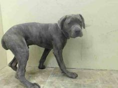 Brooklyn Center  HIGHLANDER - A1019618  MALE, GR BRINDLE, MASTIFF, 6 mos STRAY - ONHOLDHERE, HOLD FOR ID Reason STRAY  Intake condition EXAM REQ Intake Date 11/03/2014, From NY 11208, DueOut Date 11/06/2014,  https://www.facebook.com/Urgentdeathrowdogs/photos/pb.152876678058553.-2207520000.1415478881./899842013362012/?type=3&theater