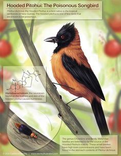 Hooded Pitohui, one of the only known poisonous birds. This illustration shows the bird in its environment along with information on the toxin and possible source of the toxin.