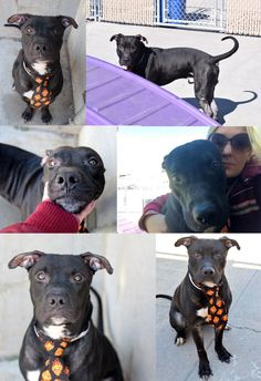 SAFE❤️❤️ 5/13/16 Brooklyn Center GANDALF – A1069674 MALE, BLACK / WHITE, AM PIT BULL TER MIX, 5 yrs STRAY – STRAY WAIT, NO HOLD Reason STRAY Intake condition UNSPECIFIE Intake Date 04/08/2016, From NY 11208, DueOut Date 04/11/2016, GANDALF – A1069674   Help us Save NYC AC&C Shelter Dogs