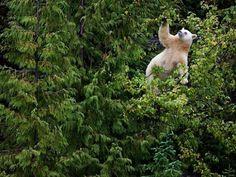 NatGeo-kermode-bear-tree