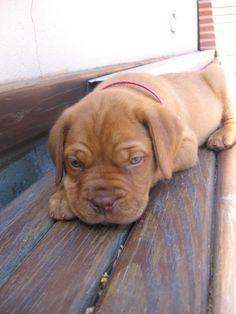 bordeaux mastiff | Dogue De Bordeaux / Bordeaux Mastiff / French Mastiff / Bordeauxdog