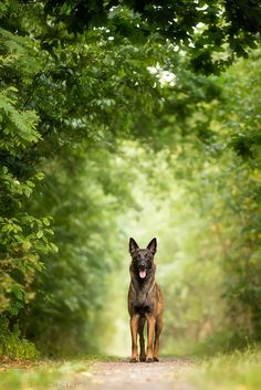 Belgian Malinois - I adore this breed!