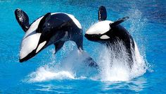 Orca whales... my favorites!