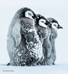 "Drei Kaiserpinguin-Babys halten sich am Südeis der Antarktis warm.Three emperor penguin babies keep warm on the southern ice of Antarctica. © Gunther Riehle, Germany: ""Facing the Storm"" Penguin Love, Cute Penguins, Penguin Craft, Animals And Pets, Funny Animals, Cute Animals, Wild Animals, Wildlife Photography, Animal Photography"