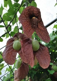 6 Fresh Seeds w/Instructions Also known as Giant Brazilian Dutchman's Pipe, Aristolochia gigantea is a robust, twisting climber that can grow aroun Weird Plants, Unusual Plants, Rare Plants, Exotic Plants, Cool Plants, Strange Flowers, Unusual Flowers, Rare Flowers, Beautiful Flowers