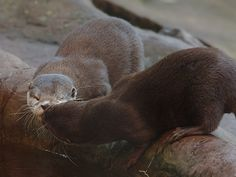Otters share a kiss at the watering hole - October 7, 2015