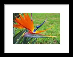 bird of paradise, flower, nature, florida, orange, blue, michiale schneider photography, interior decor, framed prints