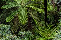 Fern plants at Blue Mountains