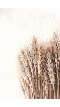 Amber waves of grain to wallpaper textured walls Raindrops and Roses Flower Backgrounds, Wallpaper Backgrounds, Iphone Wallpaper, Iphone Photography, Nature Photography, Photography Flowers, Photography Ideas, White Photography, Hair Photography