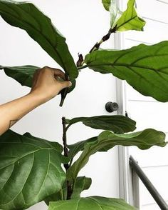 "10 Things Nobody Tells You About Fiddle-Leaf Fig. Fiddle-leaf fig trees are the ""it"" houseplant that refuses to go away. Informations About 10 Things Nobody Tells You About Fiddle-Leaf Fig Trees - Gar Garden Types, Fig Leaves, Plant Leaves, Herb Garden, Garden Plants, Rockery Garden, Fountain Garden, Sky Garden, Garden Fountains"