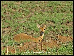 Oribi (3) Reptiles, Mammals, Wild Dogs, Domestic Cat, Rodents, Big Cats, Animal Kingdom, Habitats, Giraffe