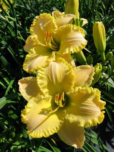 With an endless array of cheery colors and shapes, there's a daylily for every garden.