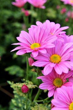 Pink daisy found in Sexual Fleur Perfume. Happy Flowers, All Flowers, Flowers Nature, Amazing Flowers, My Flower, Colorful Flowers, Beautiful Flowers, Nature Tree, Pink Daisy