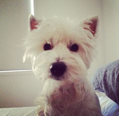 My westie benny not long after his operation 2015