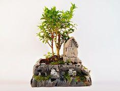 Yetişkin Bonsai Ağacı Hergünyeni.com'da.