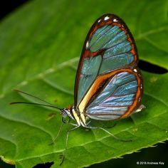 https://flic.kr/p/DAeyy3 | Glasswing butterfly | from Ecuador Megadiverso: www.flickr.com/andreaskay/albums
