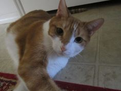 A Cat Named Pumpkin Cat Names, Pumpkin, Cats, Animals, Pumpkins, Gatos, Animales, Animaux, Animal