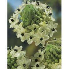arabian star flower 'arabian tähdikki', Ornithogalum arabicum /veden vaihto usein, lämmin vesi