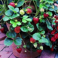 Great Strawberry Article about which type to plant and how to get the most from your plant.