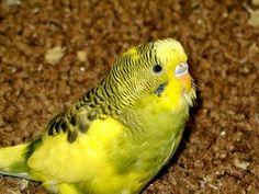 Lost Pet Parakeet returned after telling cops its address