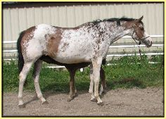 Colorfull Seattle  2005 Bay sabino Thoroughbred mare. She had a short hunter career before becoming a broodmare. I believe she's had about two foals now.