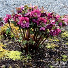 Helleborus Winter Jewels™ 'Berry Swirl' - Double orchid shades, some with a creamy-white center kissed with orchid edging. One of the world's top hybridizers, Marietta O'Byrne has created this wonderful Winter Jewels™ Strain. A delight in the winter garden. Deer resistant! Rock Garden Plants, Garden Types, Shade Perennials, Shade Plants, Best Greenhouse, Platycerium, Winter Flowers, Blooming Plants, Types Of Plants