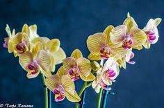 3 -vanainen orkidea Plants, Plant, Planets