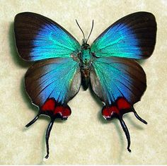 Female Thecla coronata Butterfly, maybe this is why I gravitate to the color blue.