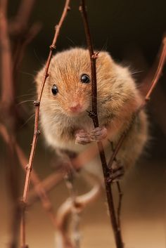 harvest mouse by andy, via Flickr