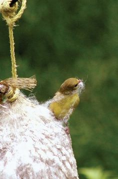 An old onion sack, mesh tube feeder, or suet cage full of clean pet hair and short pieces of cotton yarn and hung outside is great for nesting birds.