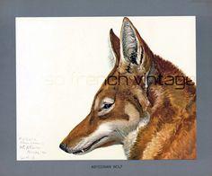 1930 Lithographie Louis Agassiz Fuertes Loup d'Abyssinie peinture animalière safari faune Afrique Déco Vintage