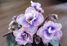 African Violet PERSIAN LACE