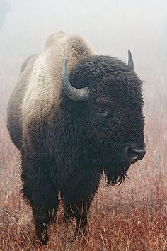 See...beautiful and strong.   My secret obsession: Buffalo.