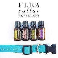 I thought I would share how we help our goldendoodle, Stella, avoid fleas naturally- and without the skin irritations that are common in other formulas. Best Flea Collar For Dogs Essential Oils For Fleas, Best Essential Oils, Essential Oil Uses, Young Living Essential Oils, Citrus Lemon, Elixir Floral, Oils For Dogs, Frankincense Oil, Doterra Essential Oils