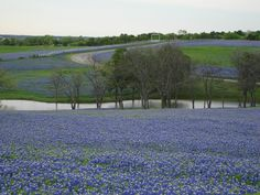 Ennis, TX.  Bluebonnets.  It really looks just like this.  Festival is April 21.