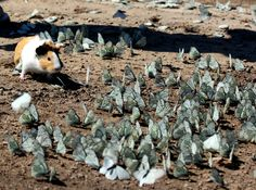 wild guinea pig playing in a flock of butterflies…..