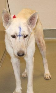 Shepherd abandoned in shelter drop box with cross inked on her forehead
