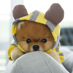 Jiff the Pomeranian Is Easily the Best Dressed Model on Super Cute Puppies, Baby Animals Super Cute, Cute Baby Dogs, Cute Little Puppies, Cute Dogs And Puppies, Baby Puppies, Cute Little Animals, Cute Funny Animals, Cute Cats
