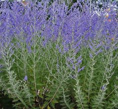 Perovskia atriplicifolia 'Longin', Russian sage, sun