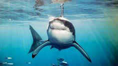 Although sharks are one of my biggest fears, I cannot deny the beauty of the great white.