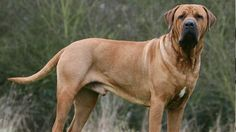 Tosa Inu  The Inu is a massive dog with some variations weighing anywhere between 130 to 200 lbs. and can reach heights of 24.5 to 32 inches. Originally bred to be a fighting dog, it is considered dangerous and legally restricted in some countries.