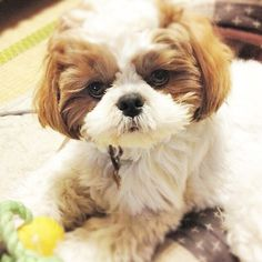 Follow us if you are Shih Tzu lover! To be featuredFollow usTag us #shihtzucorner Photo owner: @tarusuke by shihtzucorner