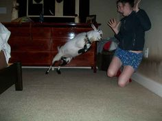 This aggressive goat.