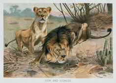 Lion and lioness. From New York Public Library Digital Collections.