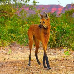 In spite of its appearance and name it is not a fox, nor is it a wolf.  The Maned Wolf, native to South America is actually the only known surviving member of the Chrysocyon genus and is not closely related to any living canid.