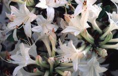 Azalea 'Fragrant Star' (4x4)